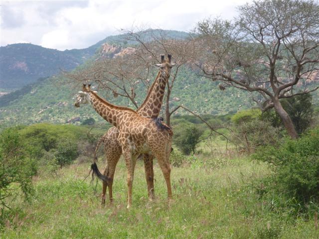 2 giraffes.jpg
